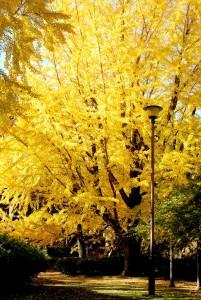 和歌山城 黄金色